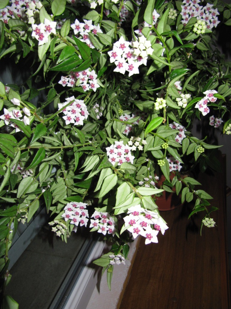 Floraison Hoya bella  l'extase juin , Juillet 2014 00318