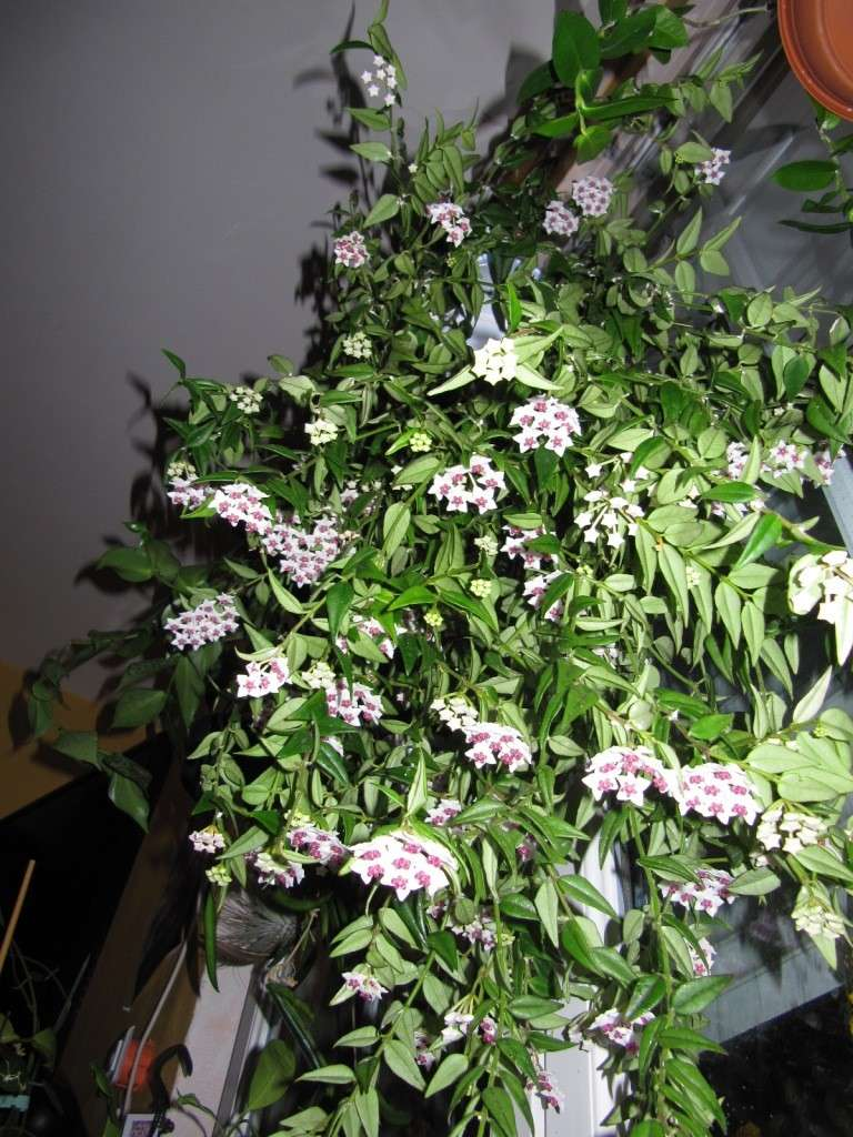 Floraison Hoya bella  l'extase juin , Juillet 2014 00618