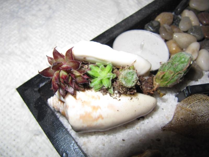 succulentes , coquillage  01210