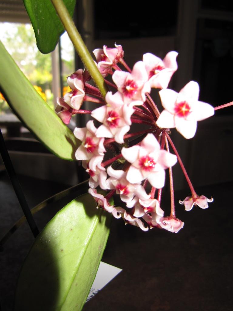 Hoya carnosa rosea  01511
