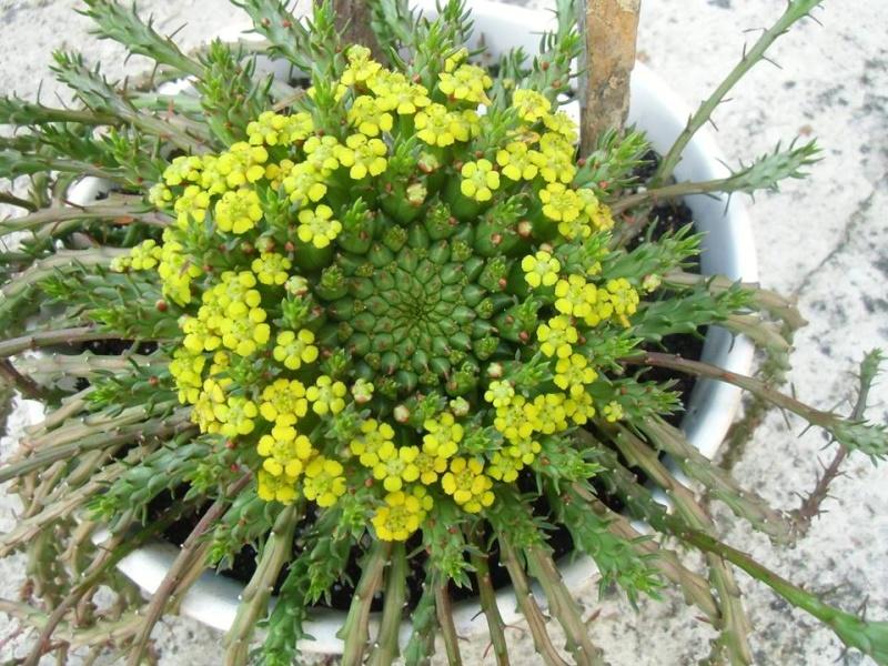 Euphorbia flanaganii ou gorgonis Plante10