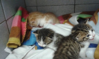3 chatons 1 mois Var 3_chat11