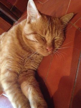 Chat roux, 18 mois, mâle, Var Carame10