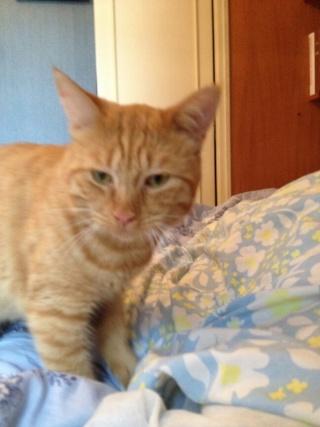 Chat roux, 18 mois, mâle, Var Carame11