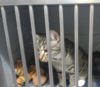 Chat mâle tigré gris, 8 mois, Var Chat_c11
