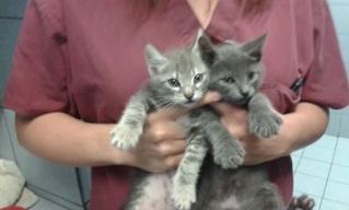2 chatons gris, 2 mois, Var Chaton23