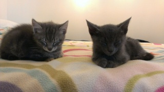 2 chatons gris, 2 mois, Var David10