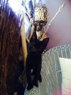 Chat noir 5 mois Var Plume_10
