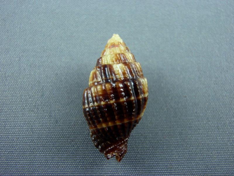Vexillum millecostatum - (Broderip, 1836) Conus_12