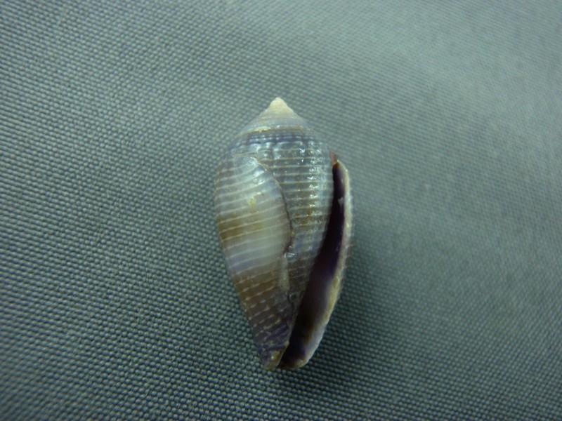 Conus (Leporiconus) glans  Hwass in Bruguière, 1792 Conus_17