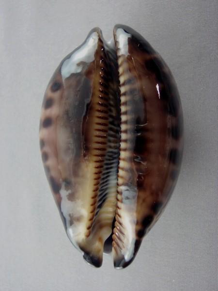 Mauritia eglantina - (Duclos, 1833) - Page 2 Eglant11