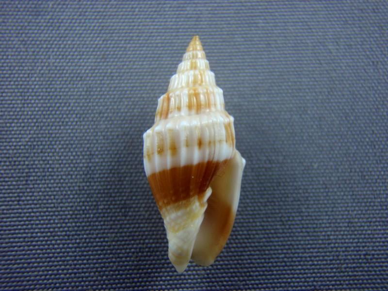 Vexillum coronatum - (Helbling, 1779)  Ligula13