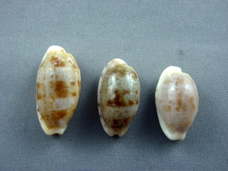 Talostolida teres teres - (Gmelin, 1791)  - Page 2 Murici12