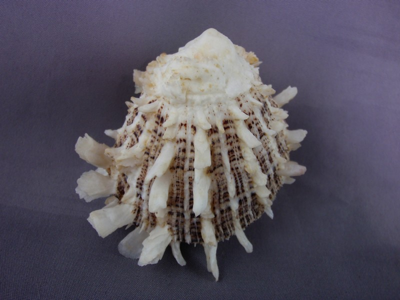 Spondylus sinensis - Schreibers, 1793  Spondy11