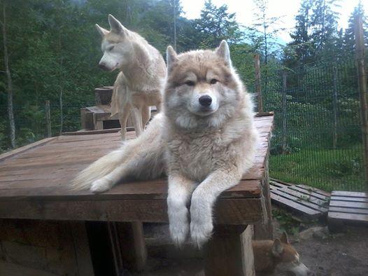 cherche a placer Bahia née le 03/10/2009, petite femelle husky, discrete, gentille  Bahia10