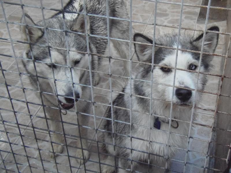 2 femelles huskies Arche de Noel Bézier Husky510