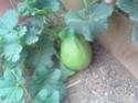 Mystery Melon Myster10