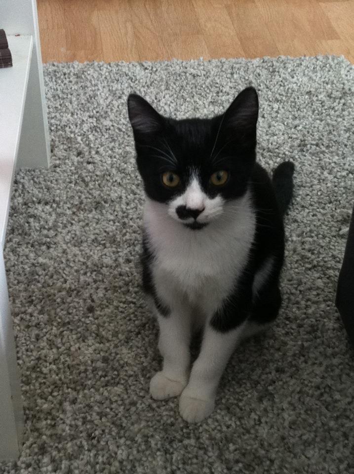 Horus beau chaton noir et blanc , né le 15 mars 2012 - FACHES THUMESNIL 18212910