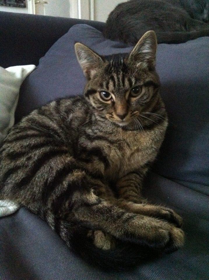 Hope très belle chatonne tigrée - FACHES THUMESNIL - Prise en charge du 13/06/2012 18594710