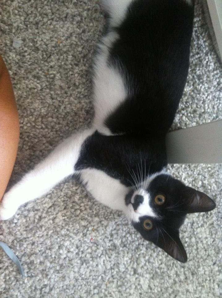 Horus beau chaton noir et blanc , né le 15 mars 2012 - FACHES THUMESNIL 54782510