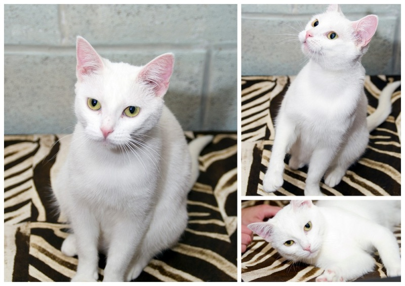 [ADOPTION] Blanchette superbe chatte blanche - VALENCIENNES - Prise en charge du 20/06/2012 Blanch12