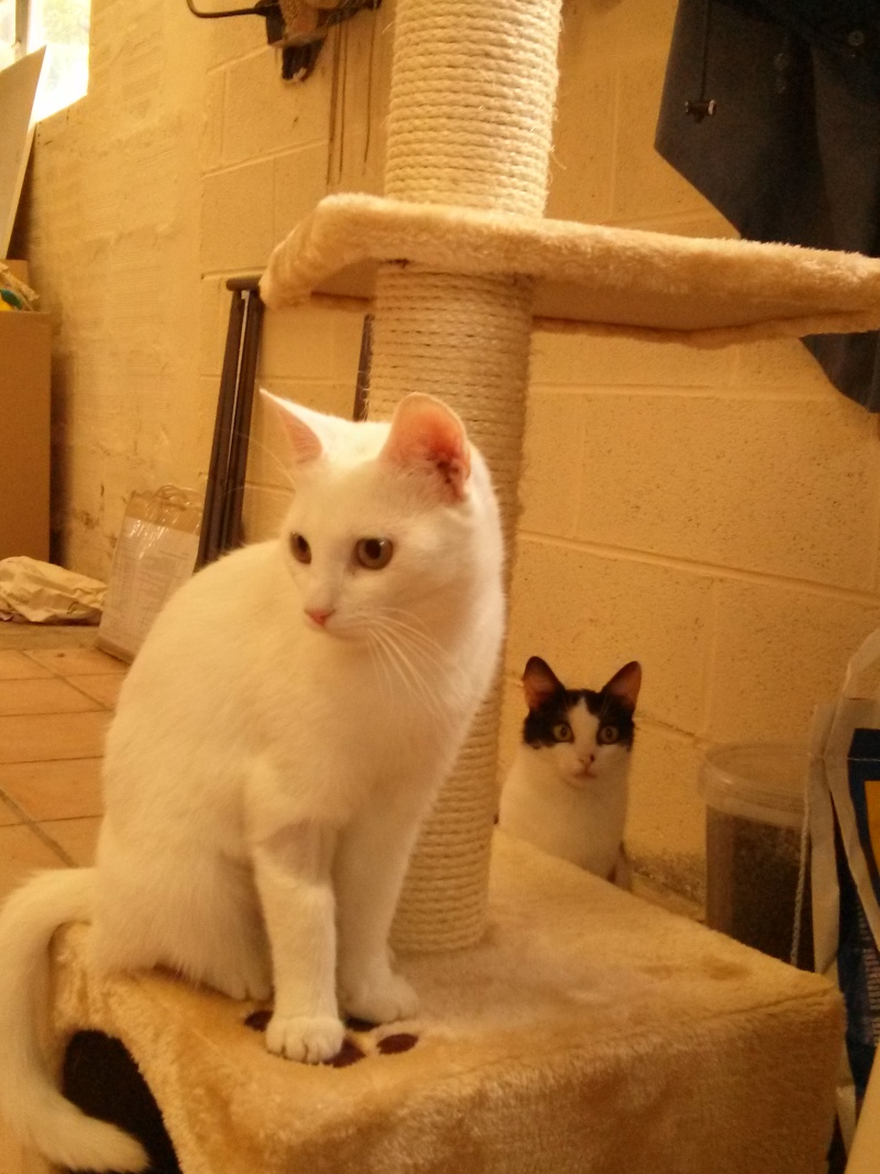 [ADOPTION] Blanche jolie chatte blanche née en 2010 Blanch14