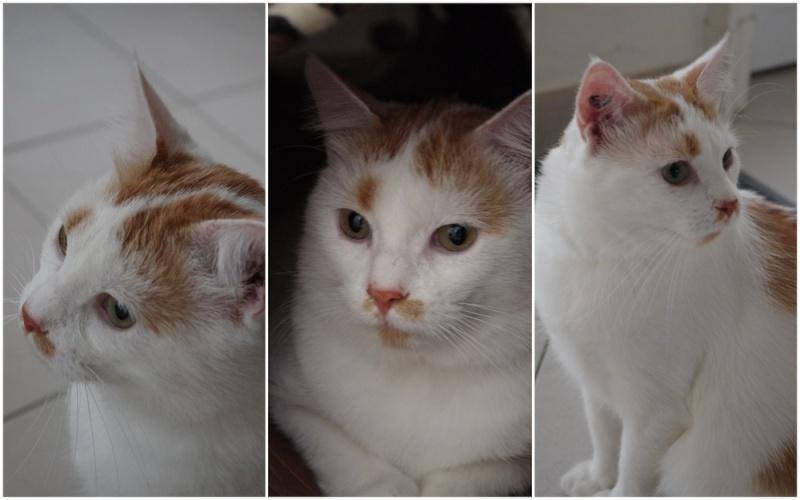 [ADOPTION] Caramel , chat roux et blanc, beau et câlin - SAINT AMAND LES EAUX Carame11