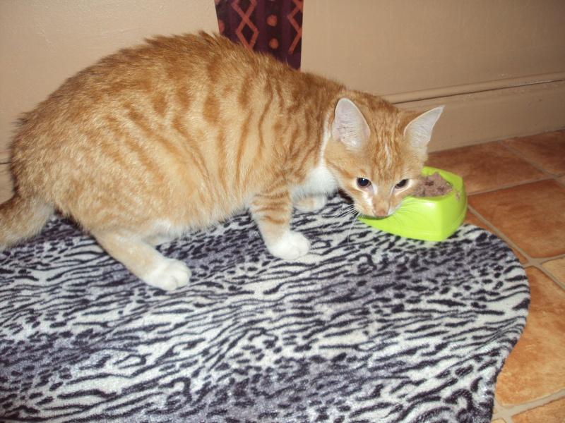 Kly, beau roux et blanc de 8 mois, très câlin - chaton 2011 Dsc01710