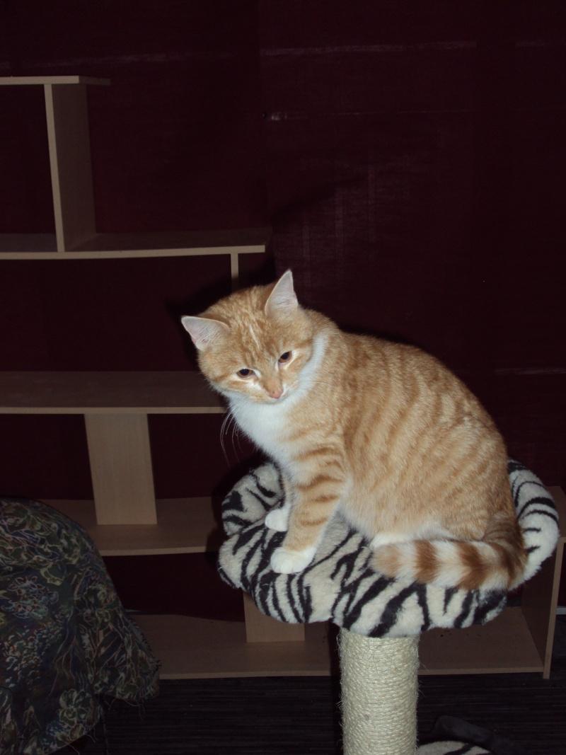 Kly, beau roux et blanc de 8 mois, très câlin - chaton 2011 Dsc01911