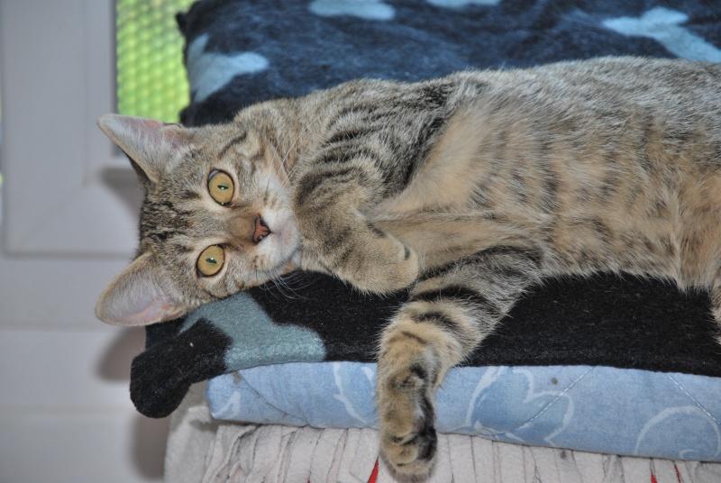 Héra beau chaton tigrée, née le 14 mars 2012 - HENIN BEAUMONT Dsc_0611