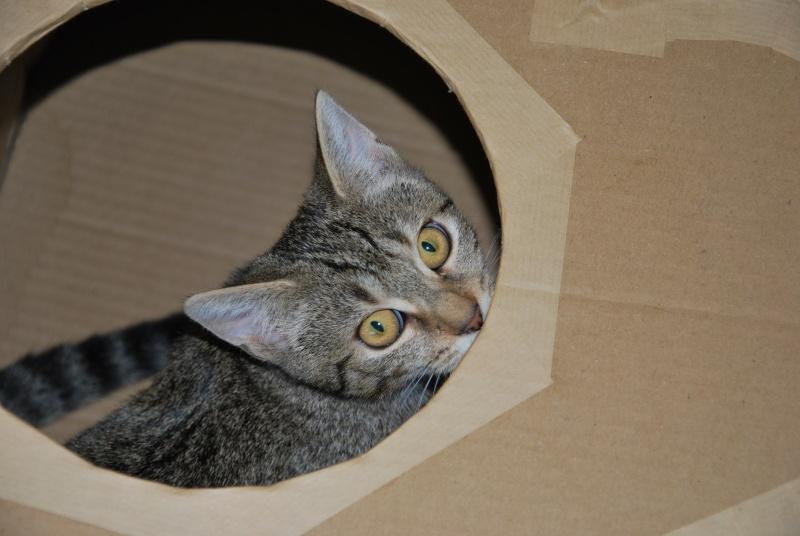 Héra beau chaton tigrée, née le 14 mars 2012 - HENIN BEAUMONT Dsc_0612