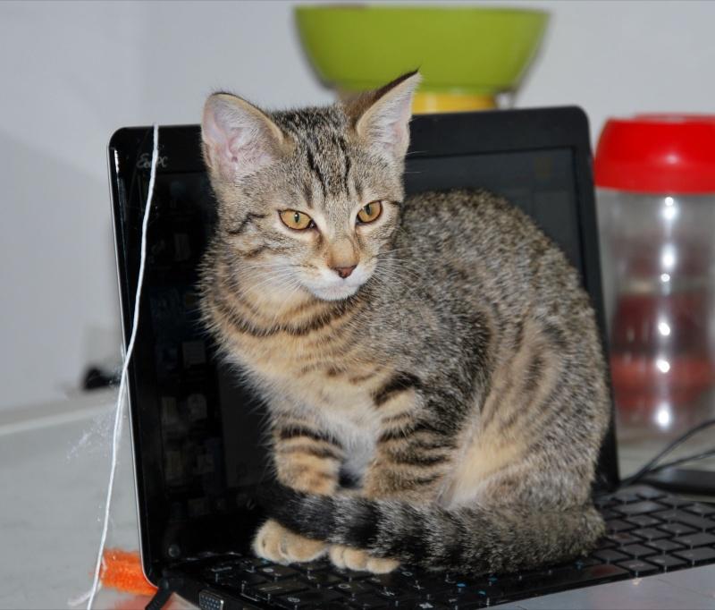 Héra beau chaton tigrée, née le 14 mars 2012 - HENIN BEAUMONT Dsc_1111