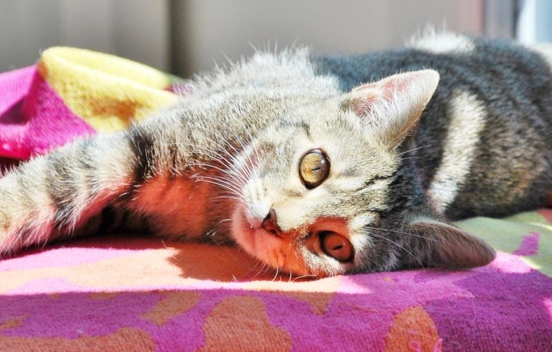 Héra beau chaton tigrée, née le 14 mars 2012 - HENIN BEAUMONT Dsc_1311