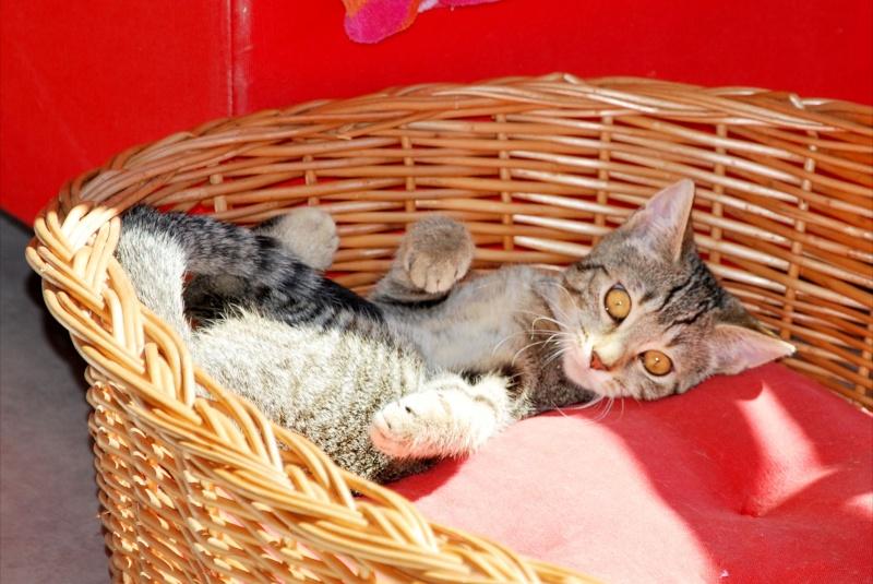 Héra beau chaton tigrée, née le 14 mars 2012 - HENIN BEAUMONT Dsc_1312