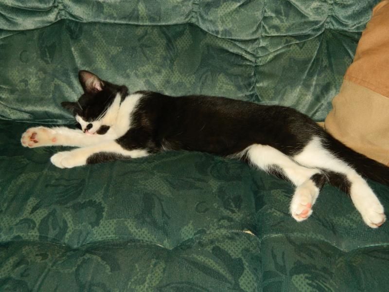 Hiro très beau chaton noir et blanc aux yeux particuliers Dscn6310