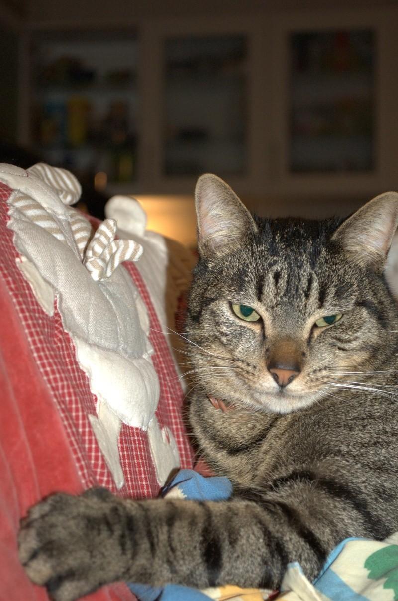[RETOUR A L'ADOPTION] Flot, sublime chat tigré né en 2010 - CAMBRAI Felix_10