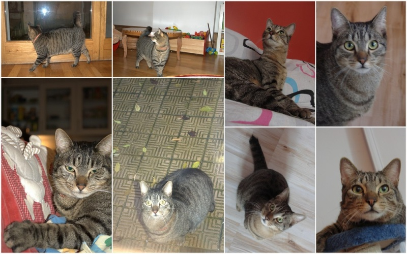 [RETOUR A L'ADOPTION] Flot, sublime chat tigré né en 2010 - CAMBRAI Flotmo10