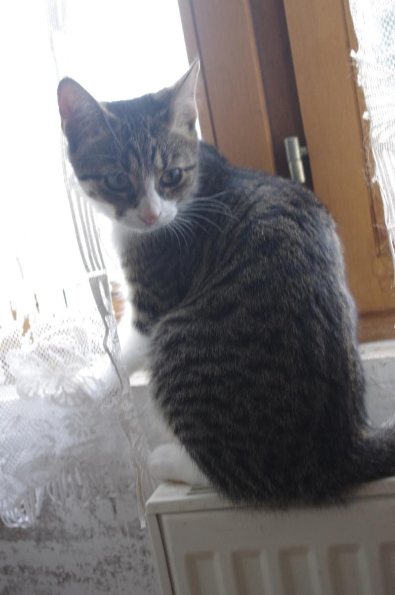 Heila très beau chaton femelle - BEUVRAGES Heila10
