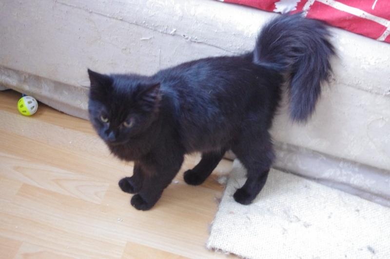 Hollie très belle chatonne noire biberonnée - BEUVRAGES Hollie12