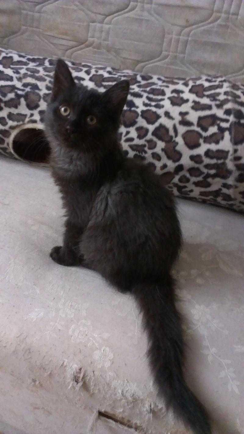 Hollie très belle chatonne noire biberonnée - BEUVRAGES Imag0611