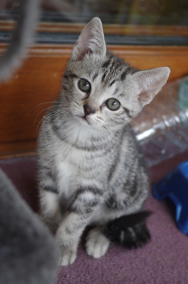 [A ADOPTER] Coquine chattonne tigrée grise - MAULDE Imgp3810
