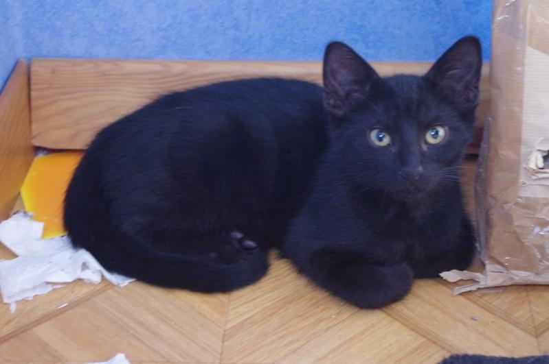 [ADOPTION] Ithaque beau chaton noir - SAINT AMAND LES EAUX Imgp3916