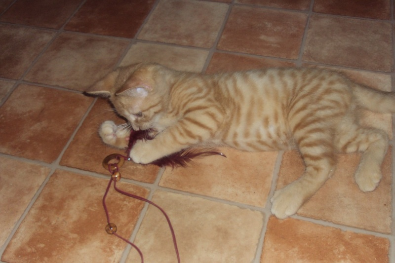[A ADOPTER] Isidore chaton roux - VALENCIENNES Isidor10