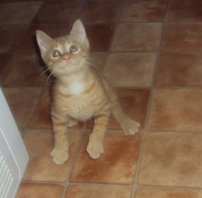 [A ADOPTER] Isidore chaton roux - VALENCIENNES Isidor11