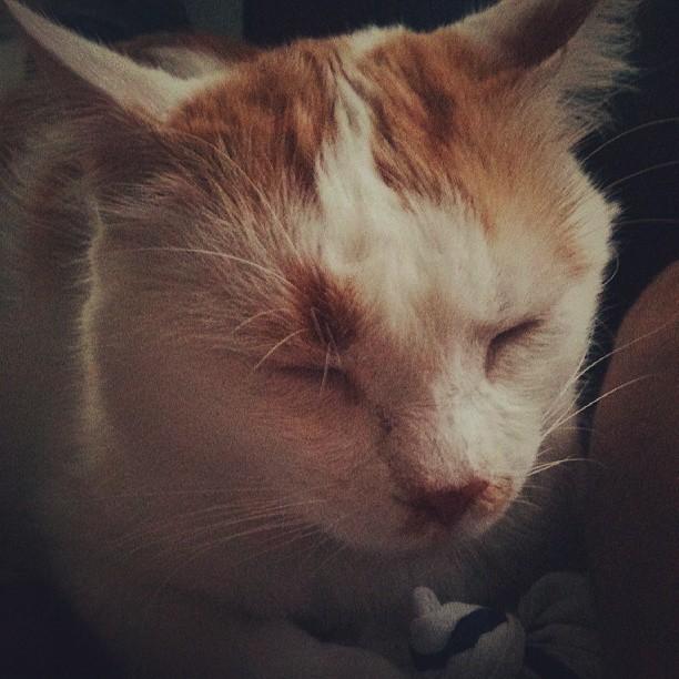 [ADOPTION] Caramel , chat roux et blanc, beau et câlin - SAINT AMAND LES EAUX - Page 2 Mamell10