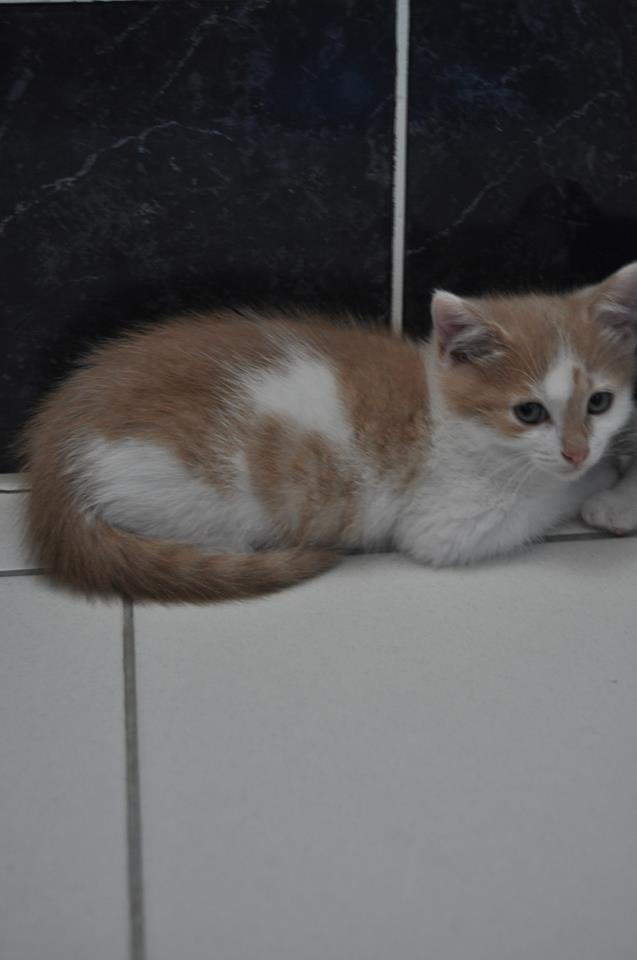 [ADOPTION] Icare petit chaton roux et blanc Rb10
