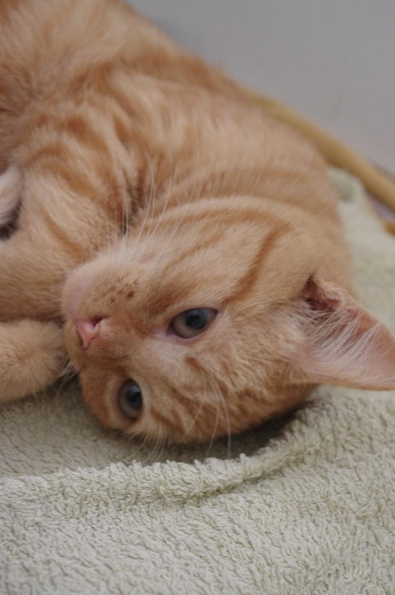 Rousseau magnifique chaton roux né mi mai 2012 Rousse10