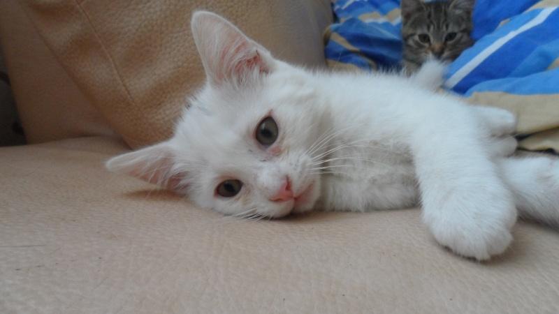 Houna magnifique chaton femelle de couleur blanche - SAINT AMAND LES EAUX Sam_3010