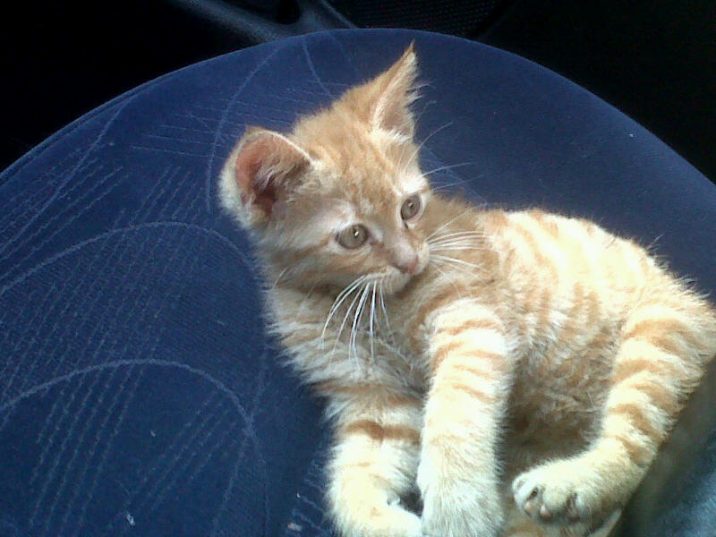 [A ADOPTER] Isidore chaton roux - VALENCIENNES Sevrou10