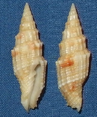 Vexillum mirabile angulosa (var.) - (Reeve, 1845) Mirabe10
